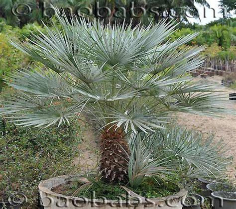 chamaerops humilis var cerifera petit palmier bleu de l atlas r 233 sistant au froid gramin 233 es