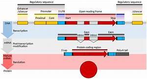 Template Eukaryote Gene Structure