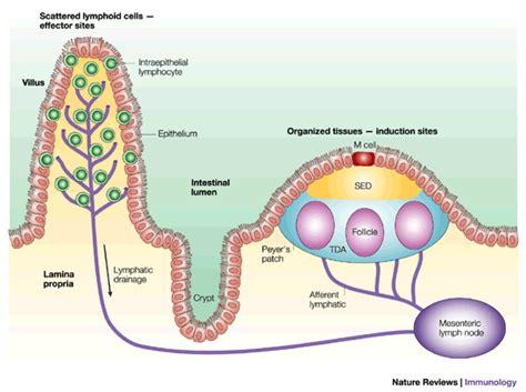 Lymphatisches gewebe im darm