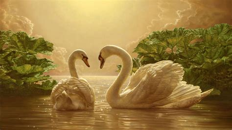 beautiful love swan  romance  wallpapers
