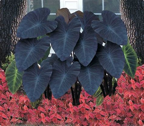 black elephant ear plants the galloping gardener i love elephant ears