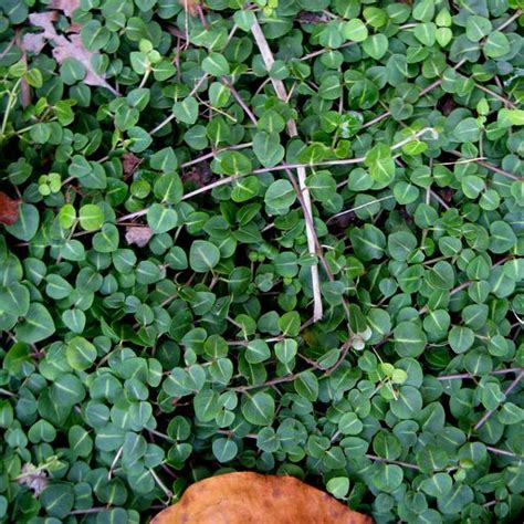 fast growing ground cover pin by amy cater blount on the great outdoors pinterest