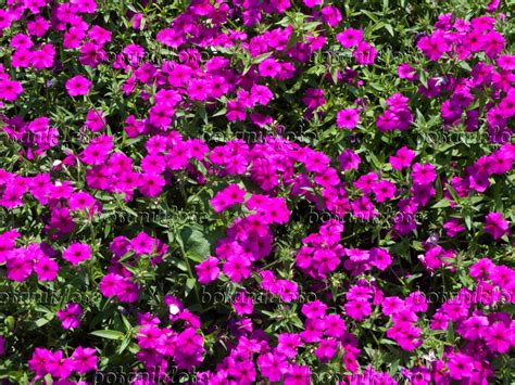 annual phlox 301 moved permanently