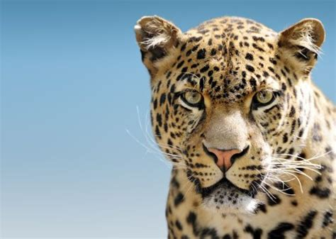 10 Leopard Facts!  National Geographic Kids