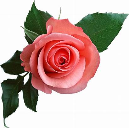 Rose Pink Flowers Graphics Desi