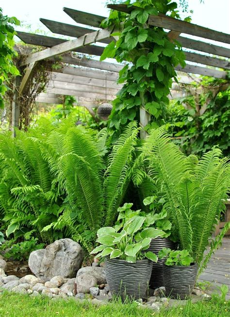 ferns for shade garden 1000 images about тенистый сад on pinterest shade garden heuchera and ferns