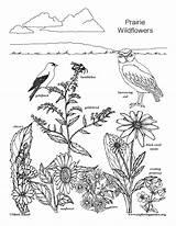 Coloring Prairie Wildflowers Wildflower sketch template