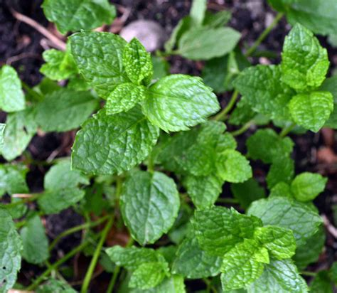 herbs plants pictures versatile herbs guest post for countrylifegreenside up