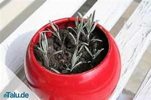 Lavendel Vermehren Wasserglas : lavendel teilen und durch stecklinge vermehren so geht 39 s ~ Lizthompson.info Haus und Dekorationen