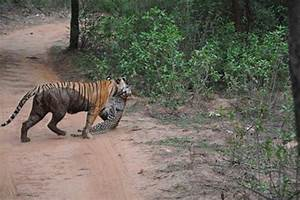 Tiger kills leopard in roadside skirmish (VIDEO ...