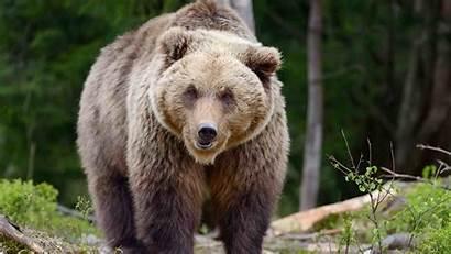 Bear Grizzly Bears Dubois Killed Trail Map