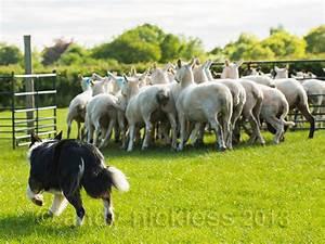Sheepdog Training 02 – Basic Requirements