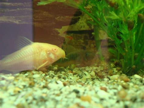 aquarium ab wann fische einsetzen fische welse tieranzeigen seite 10