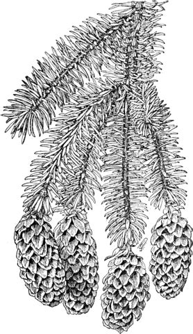 sitka spruce branchlet  cones coloring page