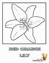 Lily Coloring Flower Easter Orange Pages Printable Lilies Sego Sheets Yescoloring Luxurious Religious sketch template