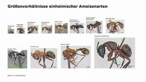 Wie Bekämpfe Ich Ameisen : gr enverh ltnisse einheimischer ameisenarten crazy ants ~ Articles-book.com Haus und Dekorationen