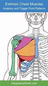 Extrinsic Chest Muscles  U2013 Functional Anatomy