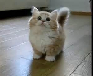 munchkin cats munchkin kitten i to get one munchkins