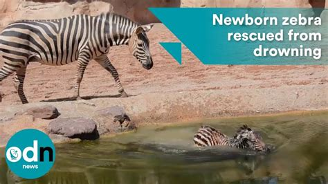 zebra drowning baby birth rescued moments