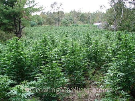 Watering Outdoor Marijuana Plants