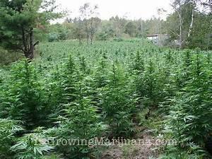 Pied De Beuh : watering outdoor marijuana plants ~ Medecine-chirurgie-esthetiques.com Avis de Voitures