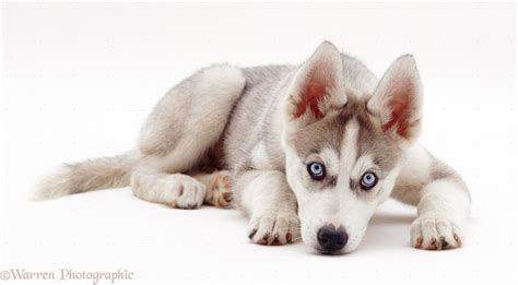 Dog Husky Pup Lying P O Wp
