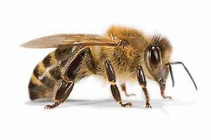 Bienen Und Wespen : evolutionsgeschichte der wespen bienen und ameisen entschl sselt bienen natur ~ Whattoseeinmadrid.com Haus und Dekorationen