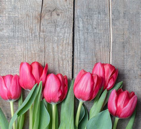 Pink Tulip Backgrounds by 10 Facts About Tulips About Flowers Plants In