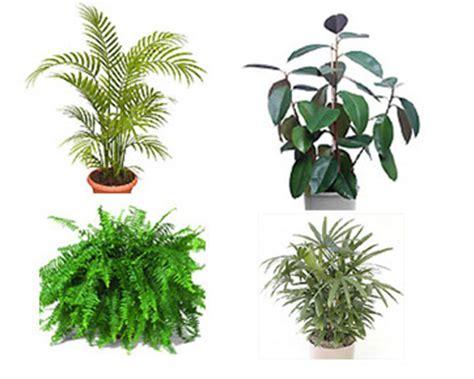 tanaman hias penyedot racun udara