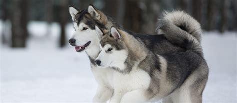 Alaskan Malamute Puppies For Sale Greenfield Puppies