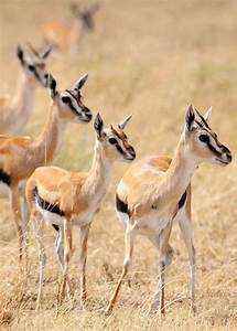 42 best Gazelles images on Pinterest | Wild animals ...