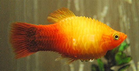 dropsy fish disease - The Aquarium Setup, Filtration, and