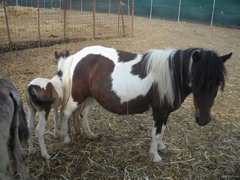 cavalli da carrozza in vendita cavalli di razza in vendita annunci con foto e prezzi