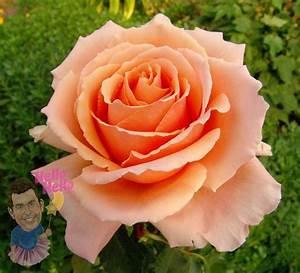 Just Joey 4ft Standard Rose