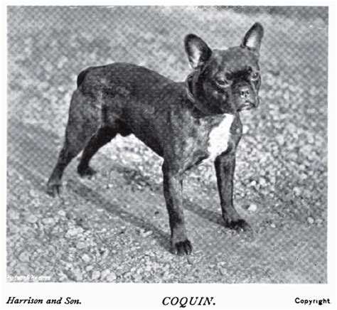 french bulldog bulldogs nose dogs years ago tails they too compared pedigree exposed 1899
