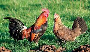 Poule Pondeuse Race : ardennaise dor e coqs et poules de race la ferme de ~ Dallasstarsshop.com Idées de Décoration