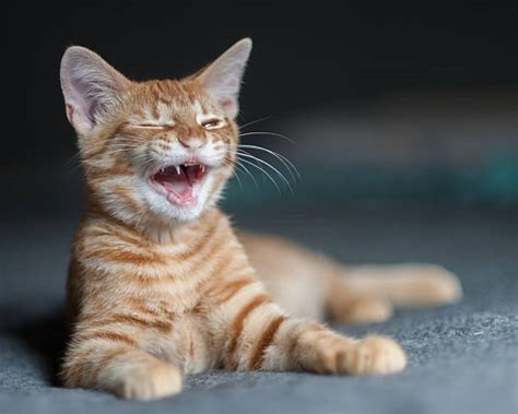 Royalty Free Laughing Cat Pictures, Images And Stock
