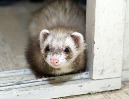 unique ferret names    pet