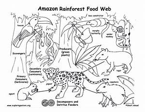 Amazon Rainforest Food Web