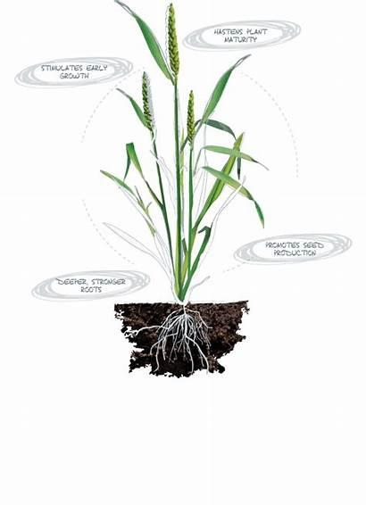 Phosphorus Plant Nutrition Deficiency Facts Atp Quick