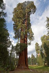 California Trees Sequoia National Park