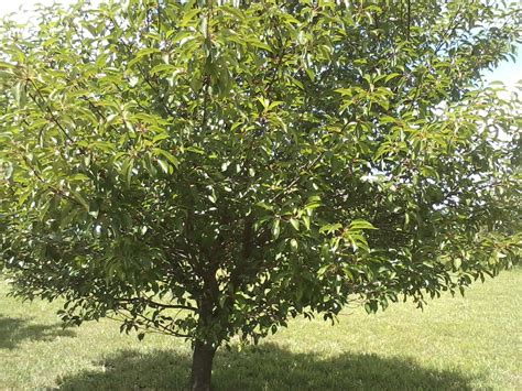 cherry shrub varieties types of cherry trees www pixshark com images galleries with a bite