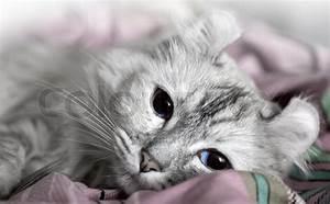 Weißer Wurm Katze : wei er american curl katze stockfoto colourbox ~ Markanthonyermac.com Haus und Dekorationen