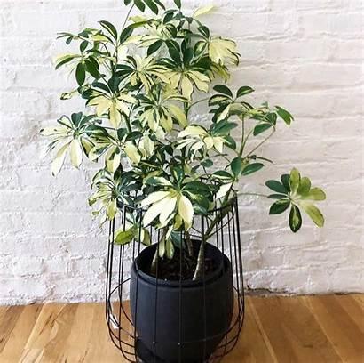 Umbrella Plant Bushy Indoor Schefflera Plants Cutting