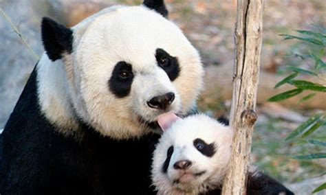 giant panda cub  dead world news  guardian