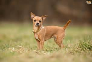 Small Non Shedding Dogs Easy To Train by Chihuahua Dog Breed Information Buying Advice Photos And