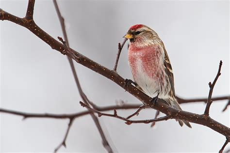 birds of new york finches