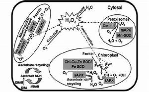 Schematic Representation Of Antioxidant Enzyme Activity In