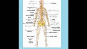 Aparatos Y Sistemas Del Cuerpo Humano Wmv