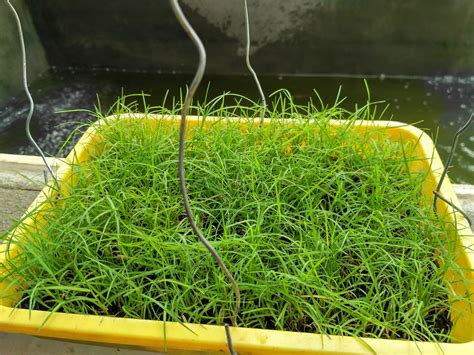 Biji Rumput Bermuda Grass supplier benih rumput biji rumput grass seed pusat